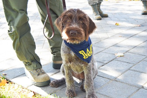 Libby, a wire-haired pointing Griffon, is being trained to become a psychological service dog for the Wilkes community.