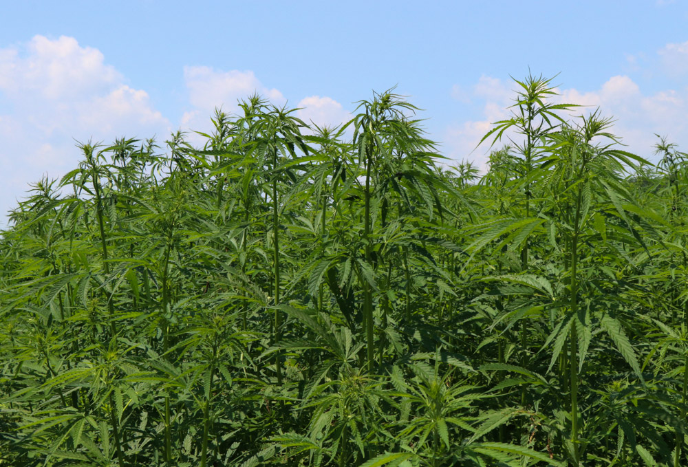 Industrial hemp growth at Rodale Institute, a 501 (c)(3) nonprofit dedicated to pioneering organic farming through research and outreach.   Photo by Amanda Bialek